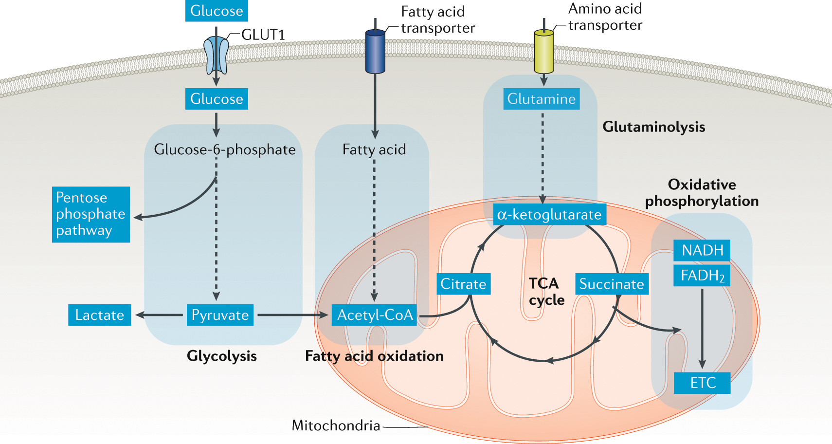 T cell metabolism: new insights in systemic lupus erythematosus pathog