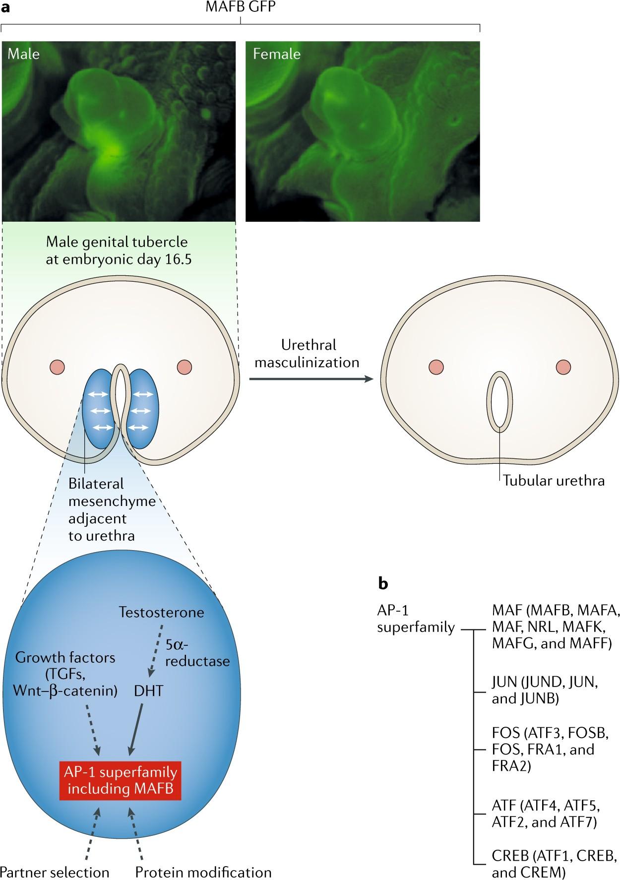 Regulation Of Masculinization Androgen Signalling For External
