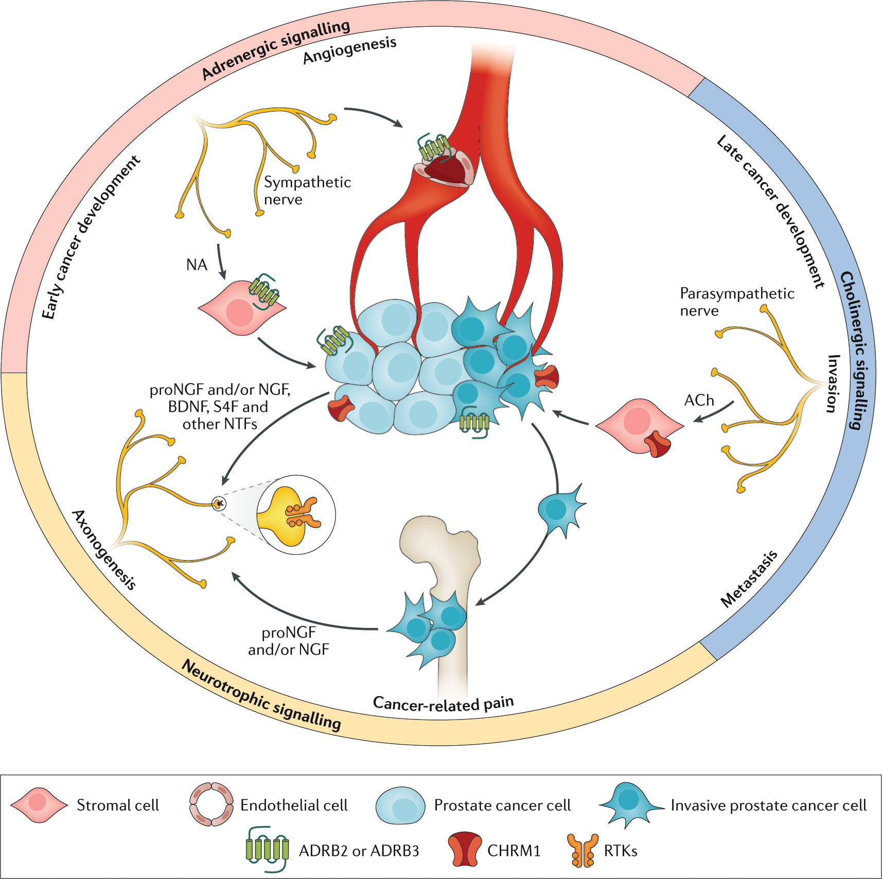 Tumour innervation and neurosignalling in prostate cancer