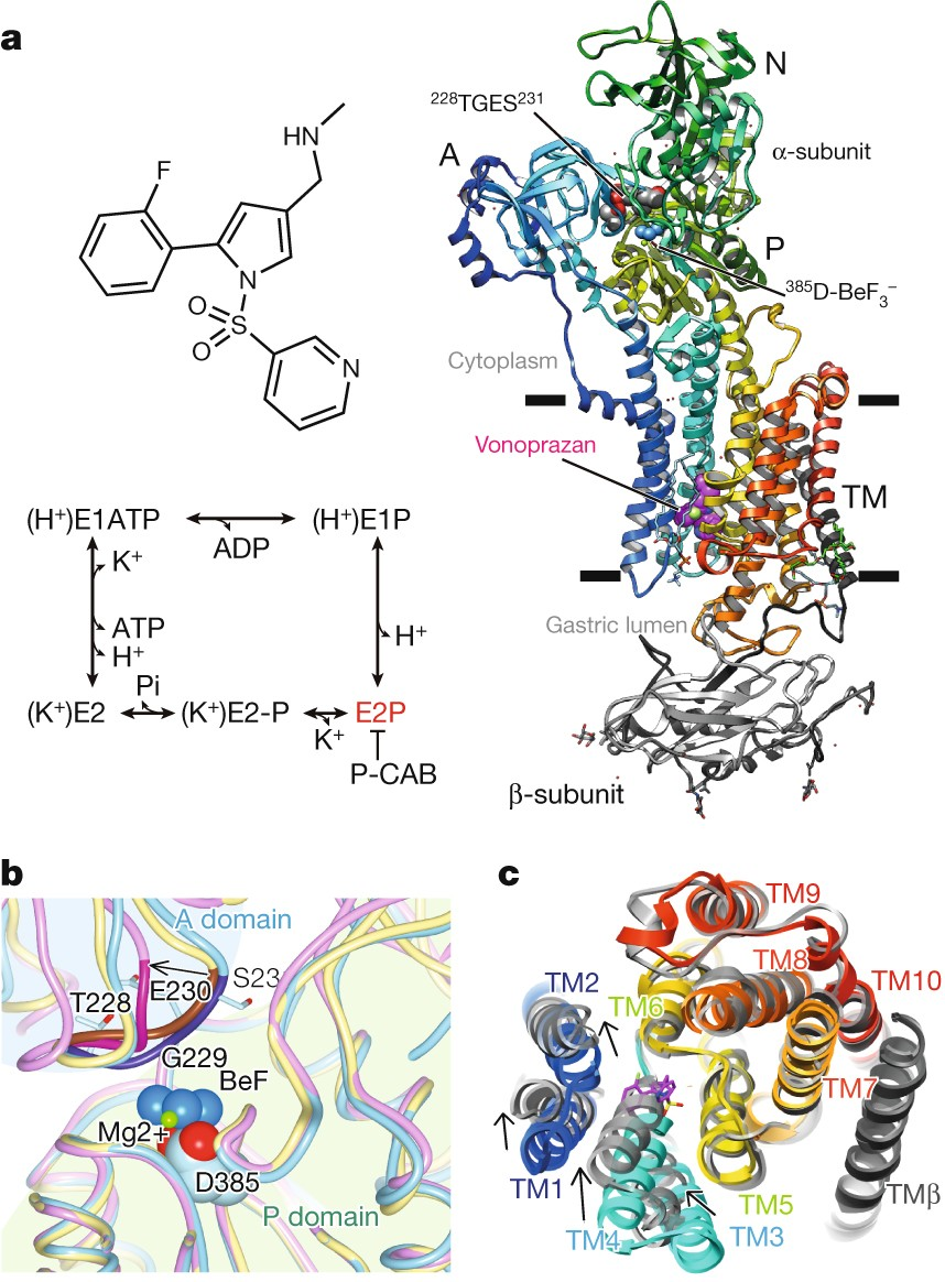 Crystal structures of the gastric proton pump | Nature