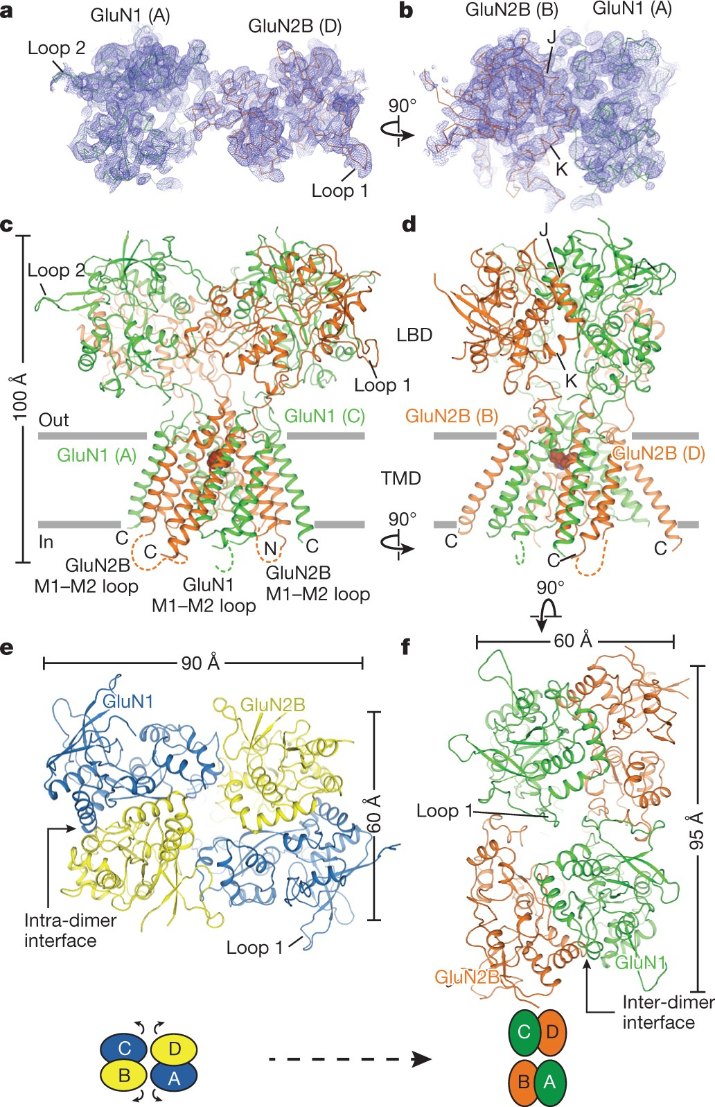 Mechanism Of Nmda Receptor Channel Block By Mk 801 And Memantine Nature