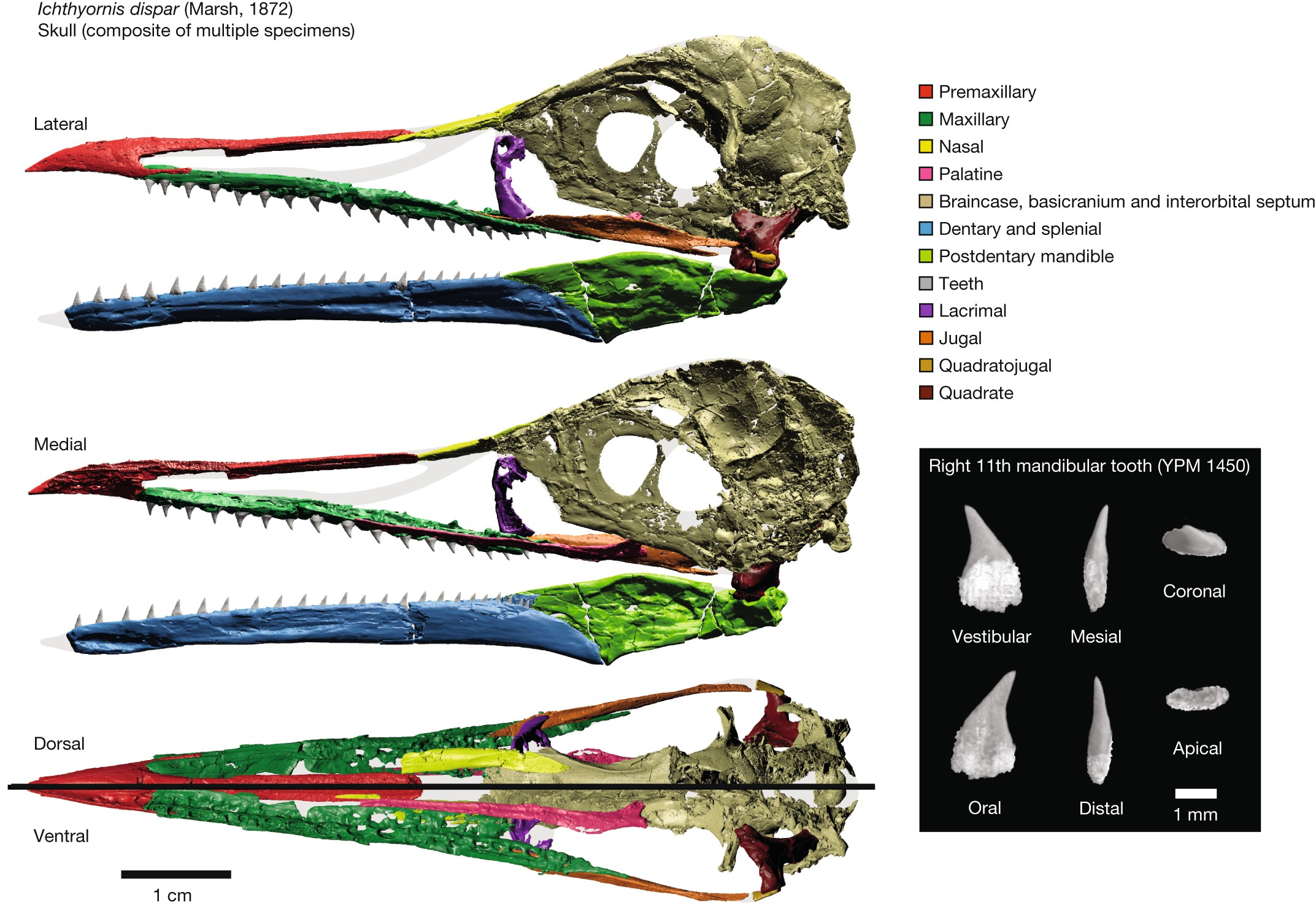 Complete Ichthyornis Skull Illuminates Mosaic Assembly Of