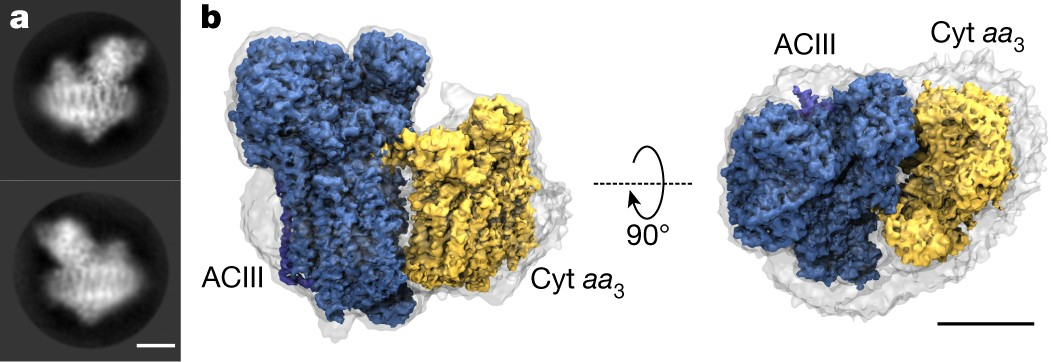 Structure of the alternative complex III in a supercomplex