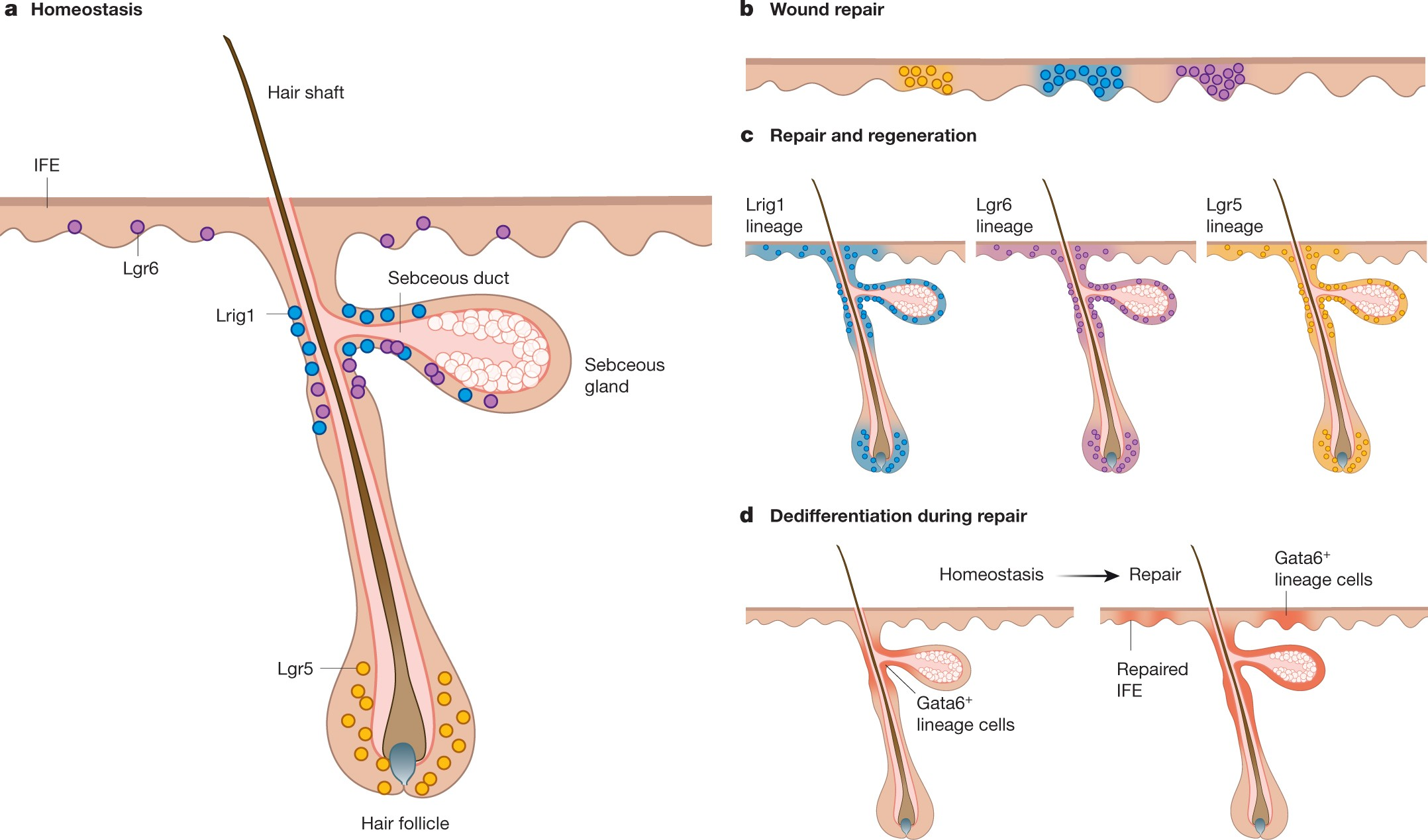 Diverse mechanisms for endogenous regeneration and repair in