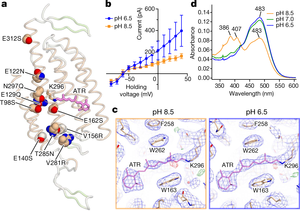 Structural Mechanisms Of Selectivity And Gating In Anion Channelrhodopsins
