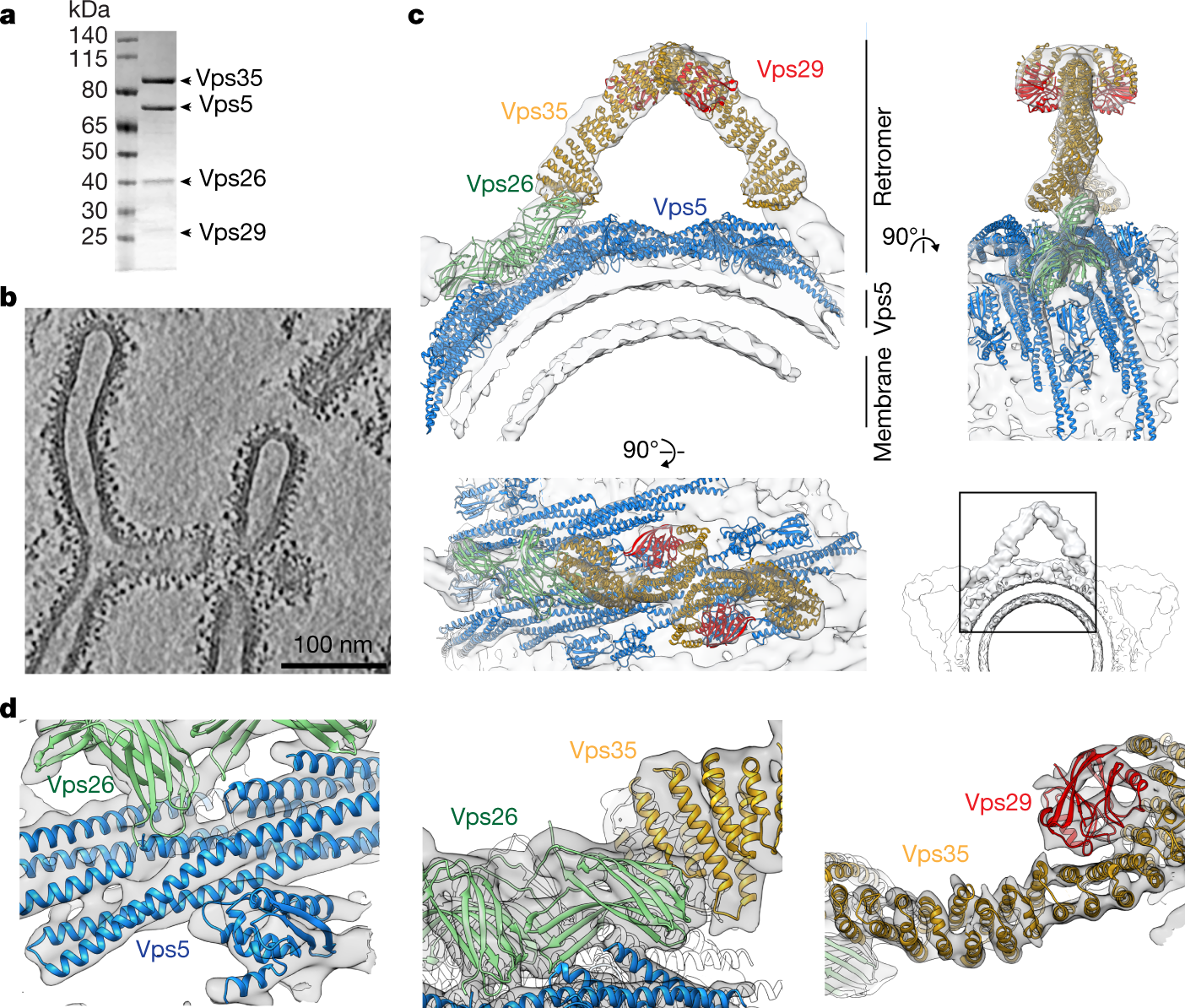 Structure of the membrane-assembled retromer coat determined