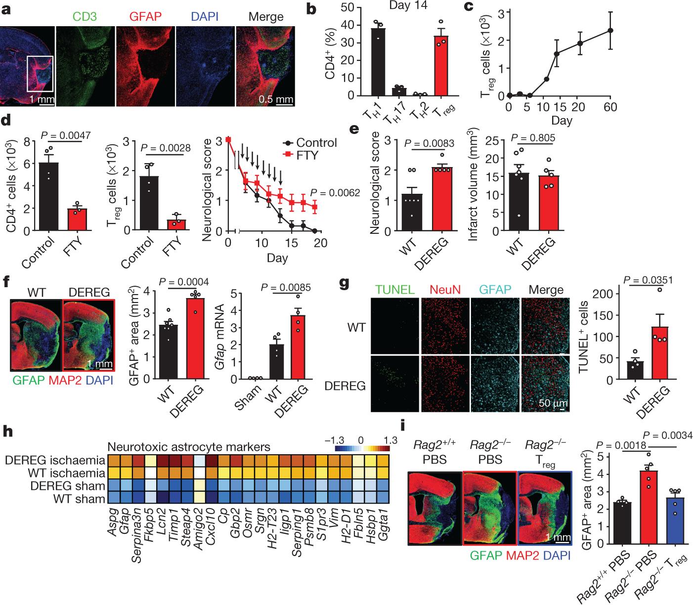 Brain regulatory T cells suppress astrogliosis and potentiate