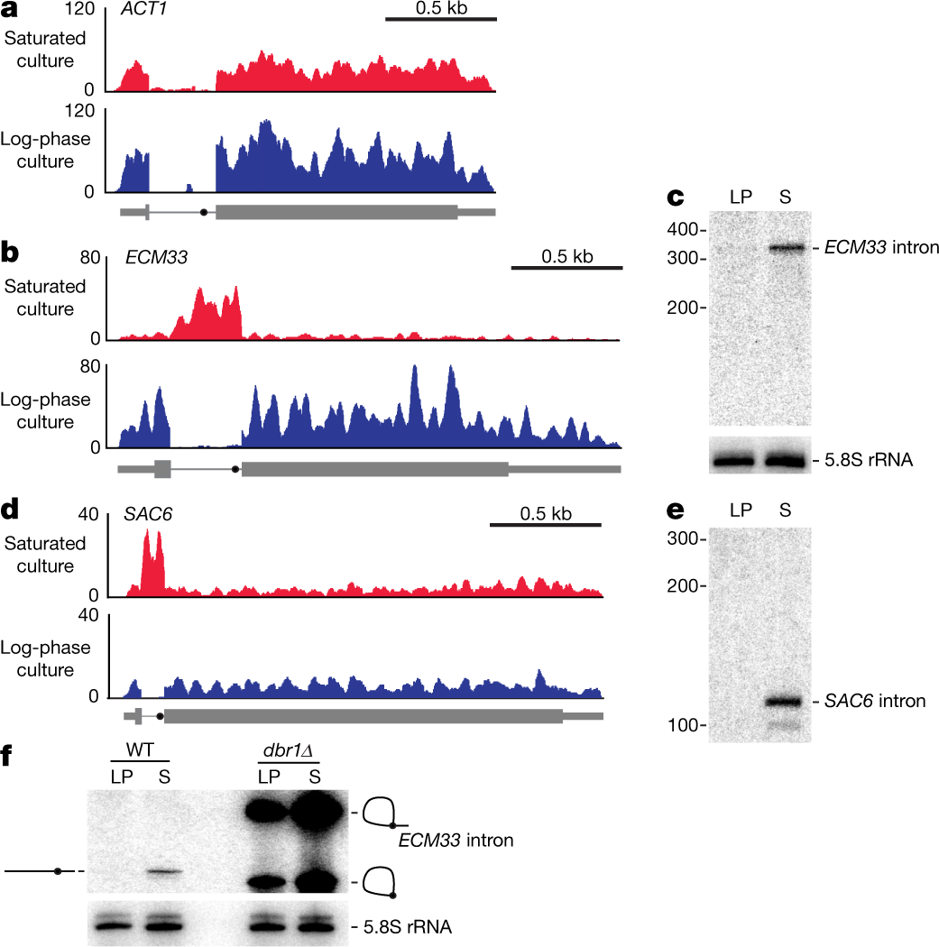 Excised linear introns regulate growth in yeast | Nature