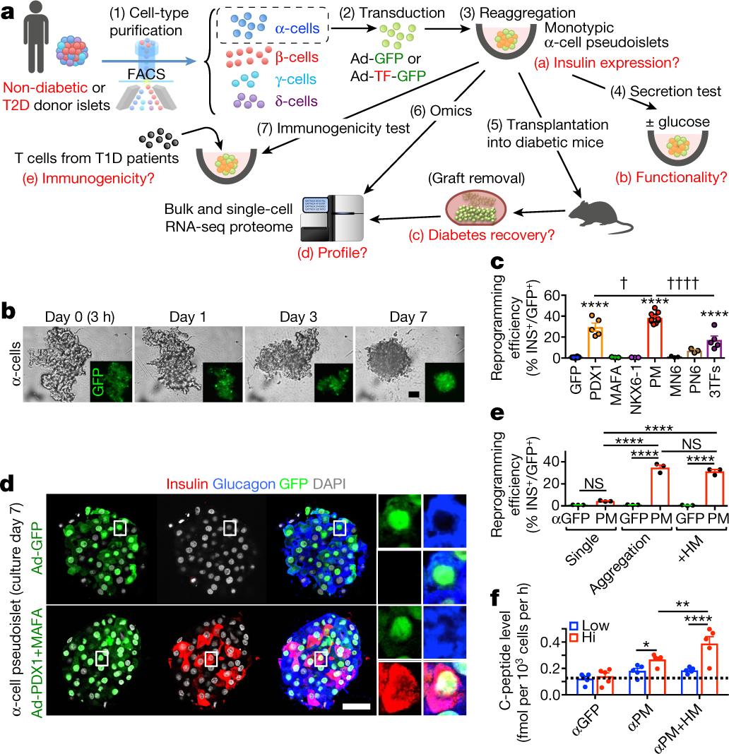 Diabetes relief in mice by glucose-sensing insulin-secreting human α