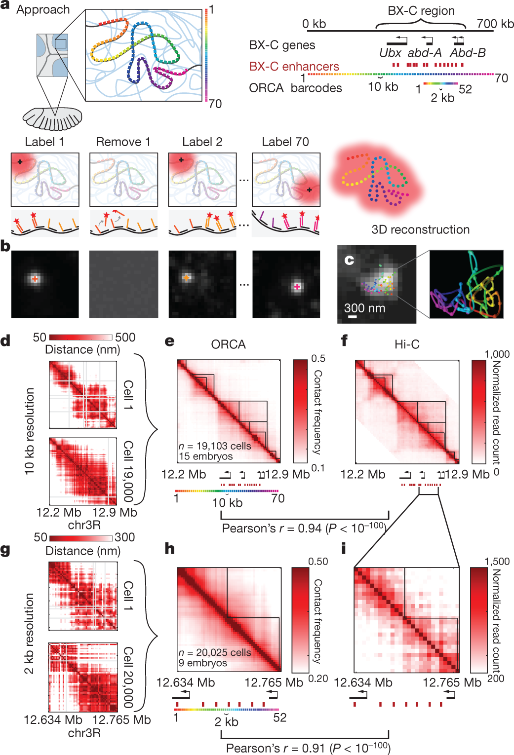 Visualizing DNA folding and RNA in embryos at single-cell resolution