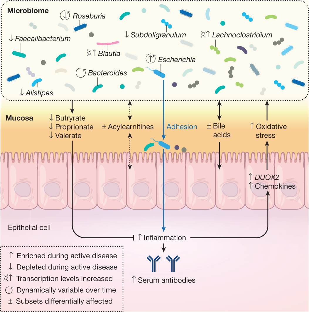 Host–microbiome dynamics in IBD