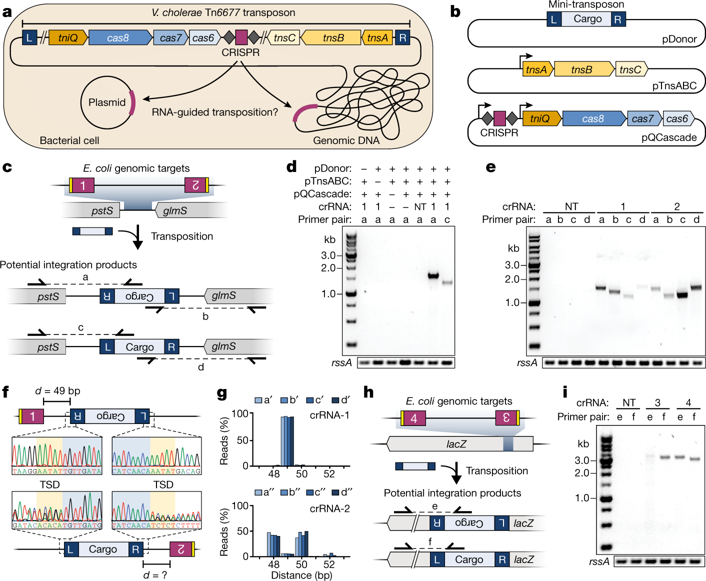 Transposon-encoded CRISPR–Cas systems direct RNA-guided DNA integration
