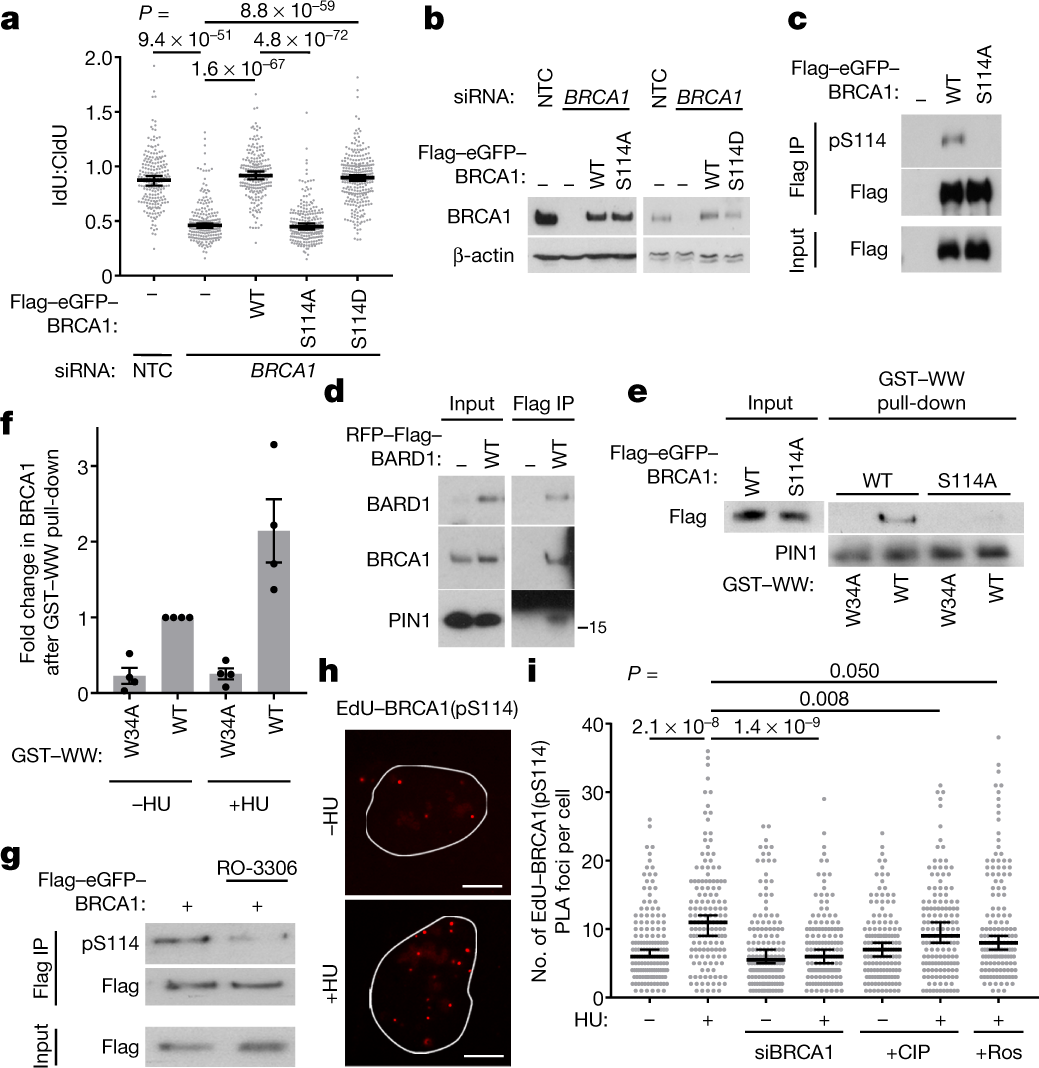 Isomerization of BRCA1–BARD1 promotes replication fork protection