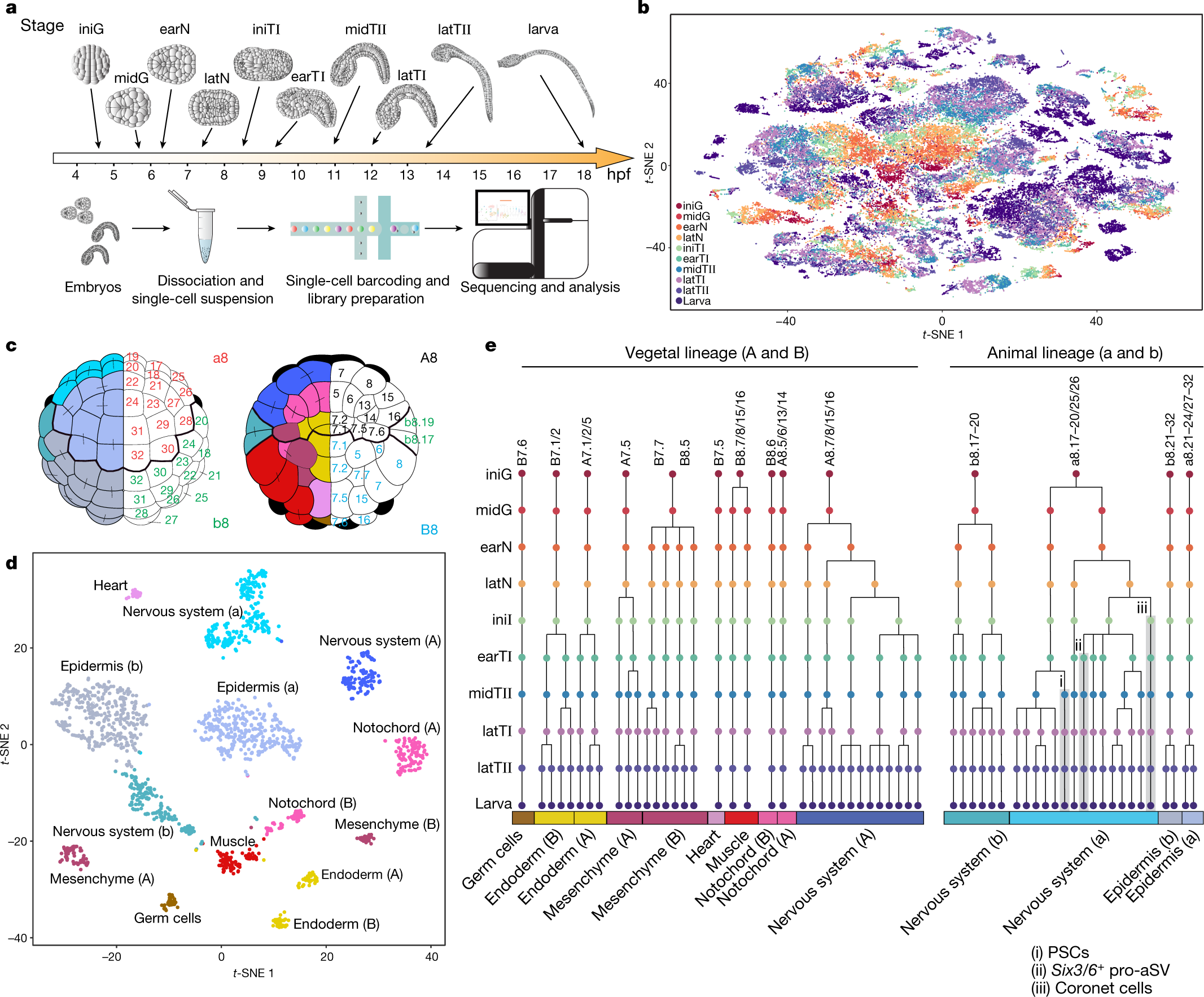 Comprehensive single-cell transcriptome lineages of a proto