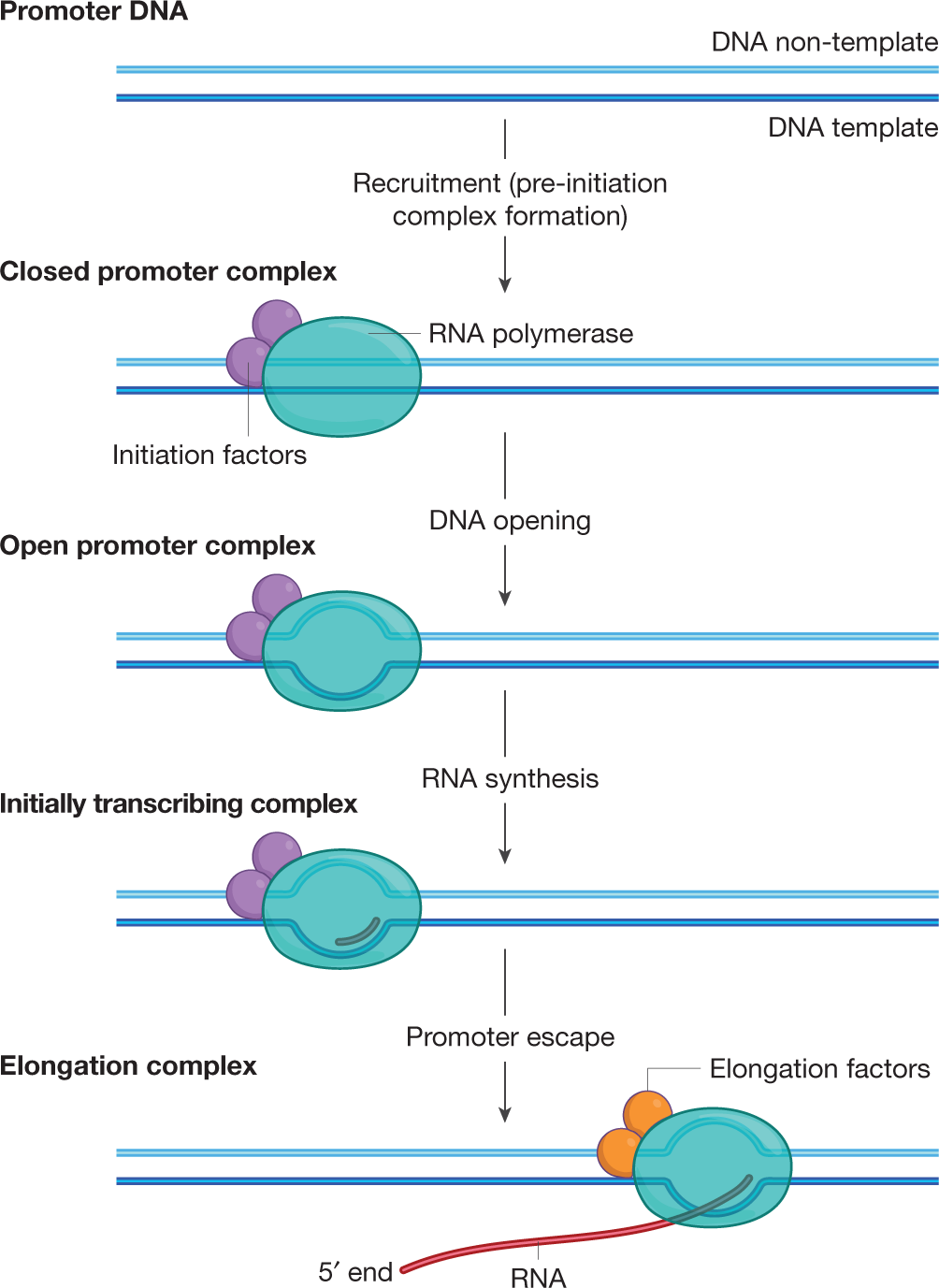 Organization and regulation of gene transcription | Nature
