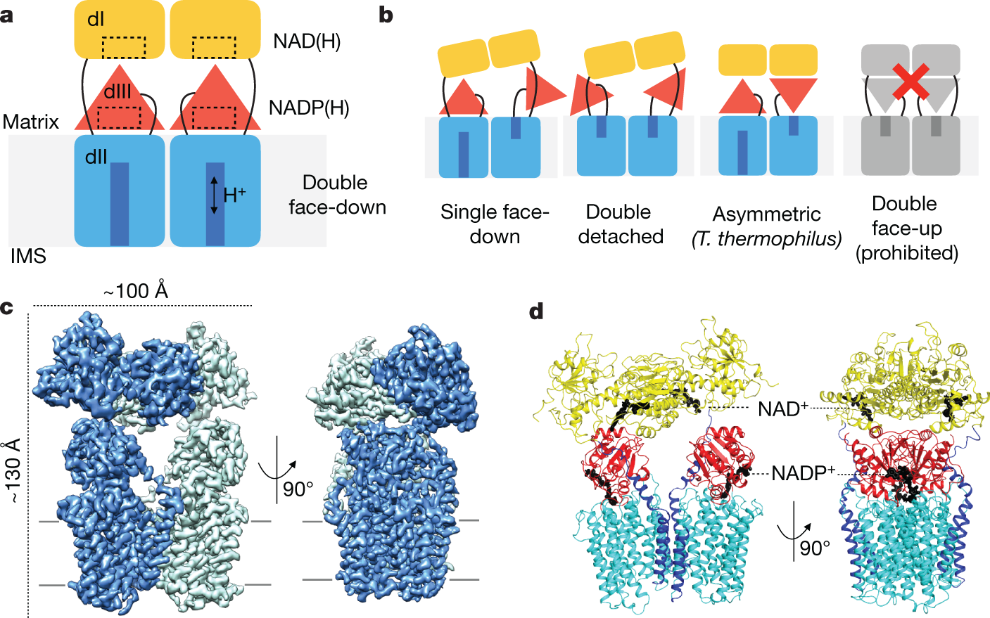 Structure and mechanism of mitochondrial proton-translocating transhyd
