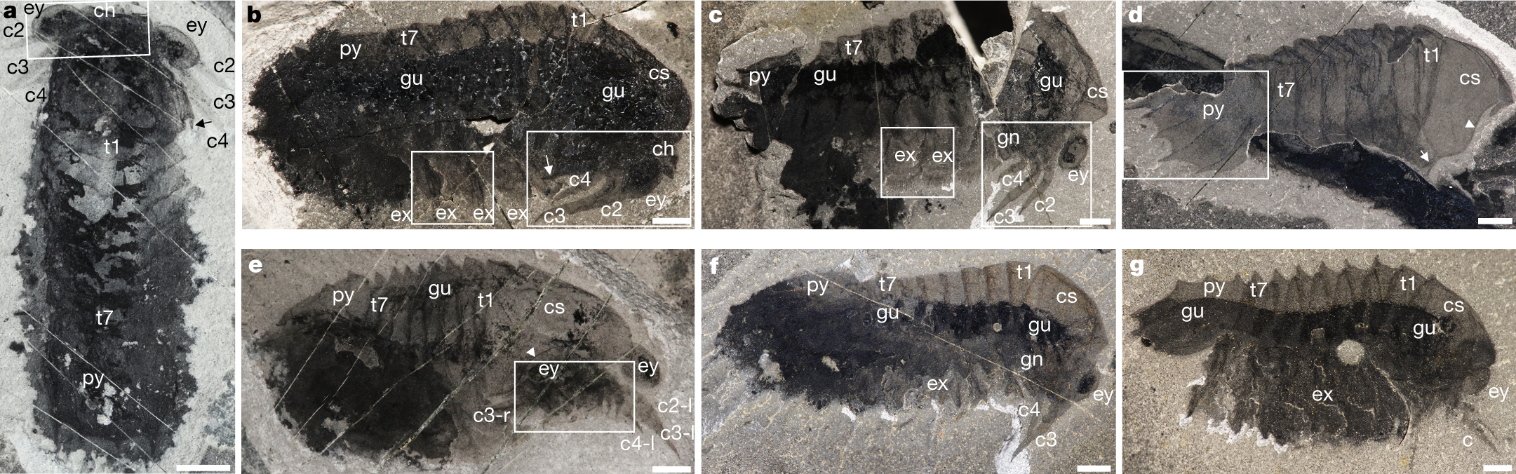 A middle Cambrian arthropod with chelicerae and proto-book gills
