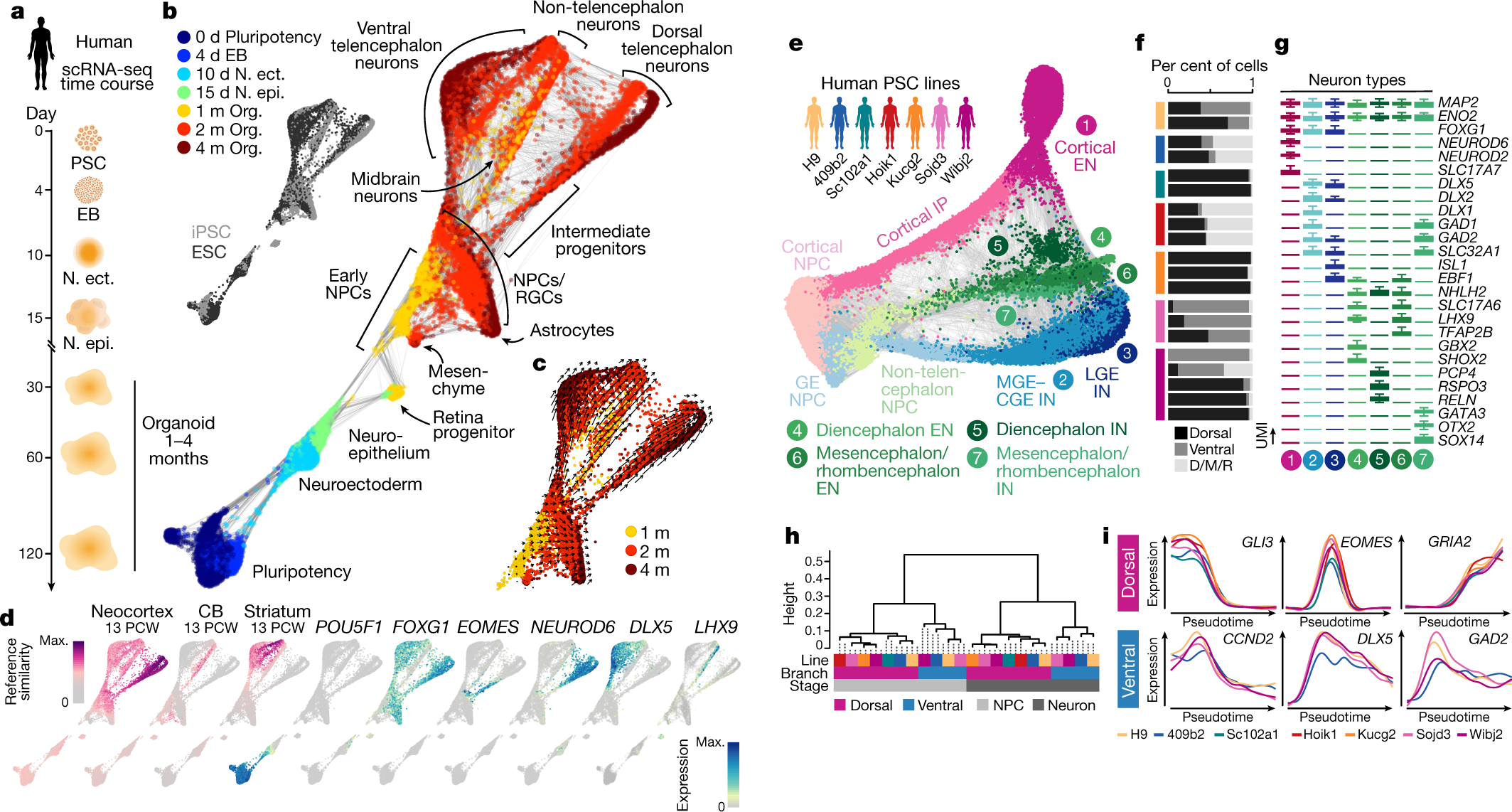 Organoid single-cell genomic atlas uncovers human-specific features of