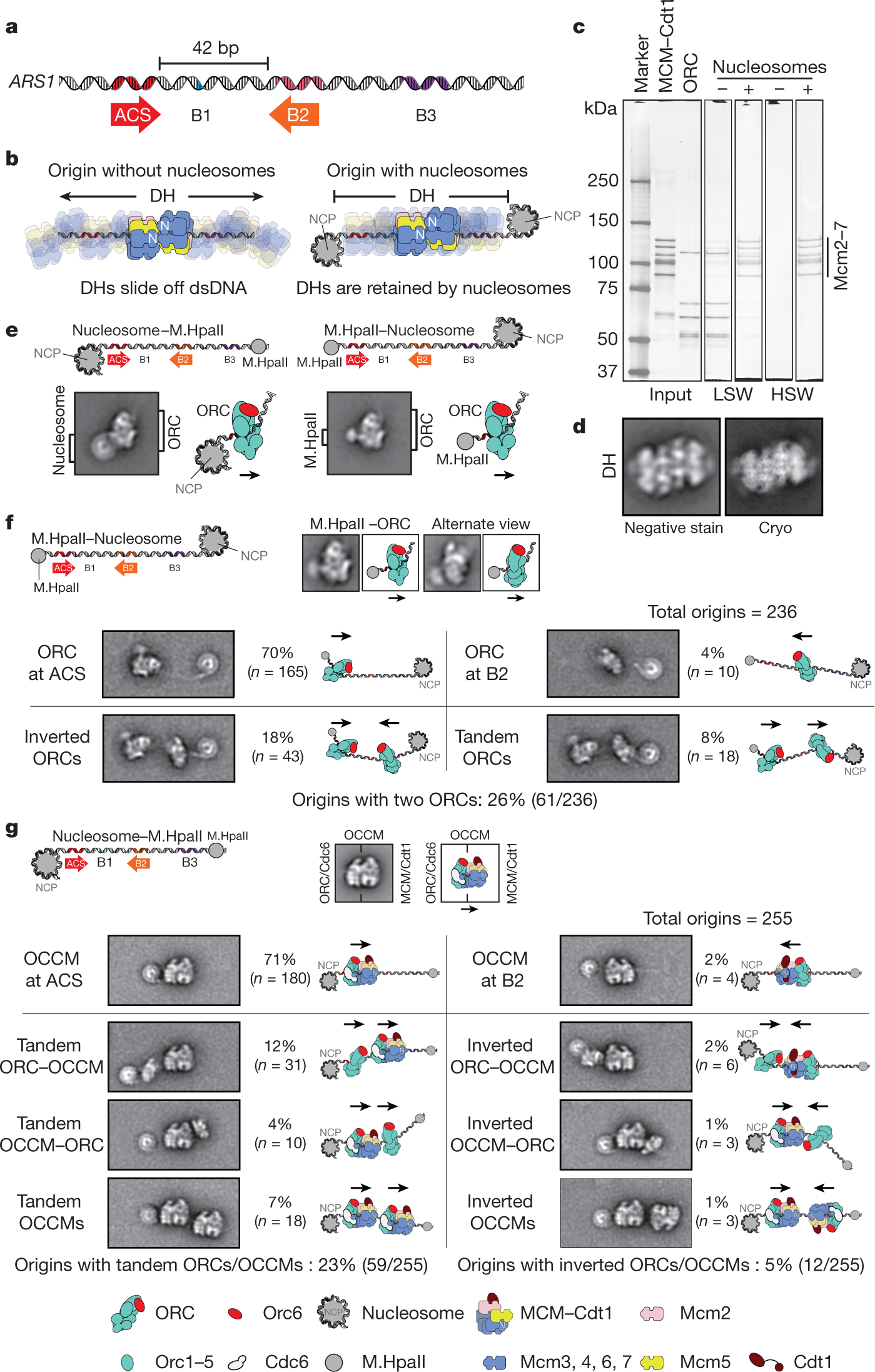 Mechanism of head-to-head MCM double-hexamer formation revealed by cry