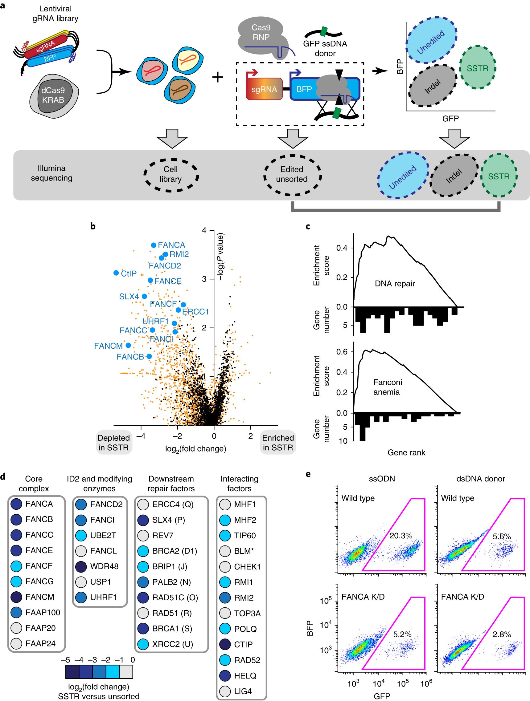 CRISPR–Cas9 genome editing in human cells occurs via the