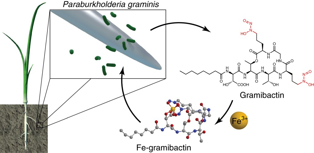 Gramibactin Is A Bacterial Siderophore With A Diazeniumdiolate