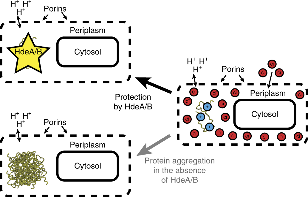 In vivo chloride concentrations surge to proteotoxic levels