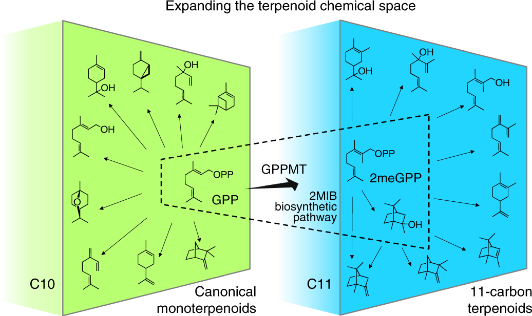 Synthesis of 11-carbon terpenoids in yeast using protein and
