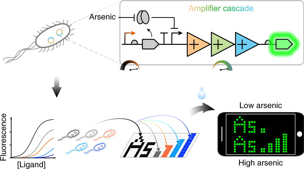 Cascaded amplifying circuits enable ultrasensitive cellular sensors fo