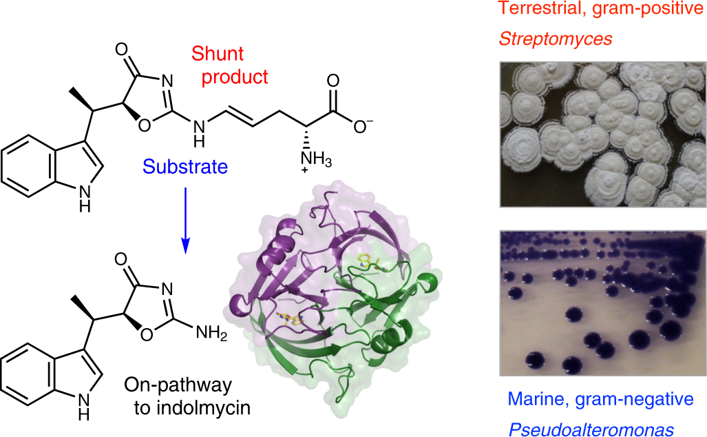 Convergent biosynthetic transformations to a bacterial specialized met