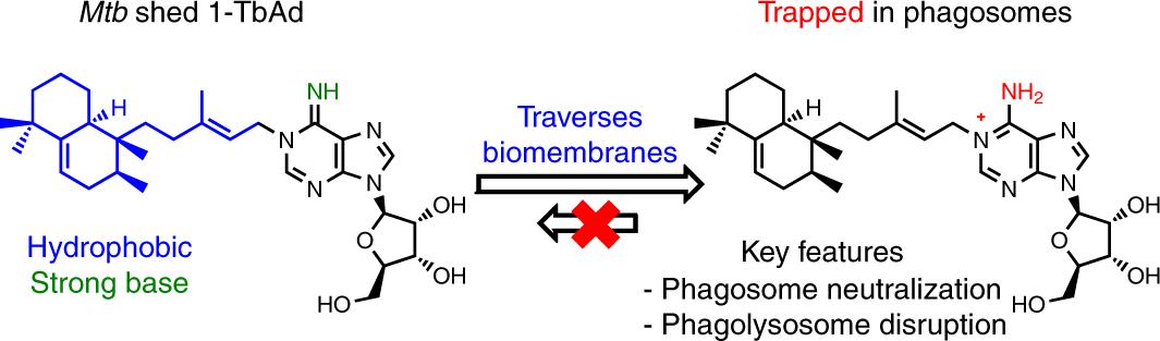 Mycobacterium tuberculosis releases an antacid that remodels phagosome