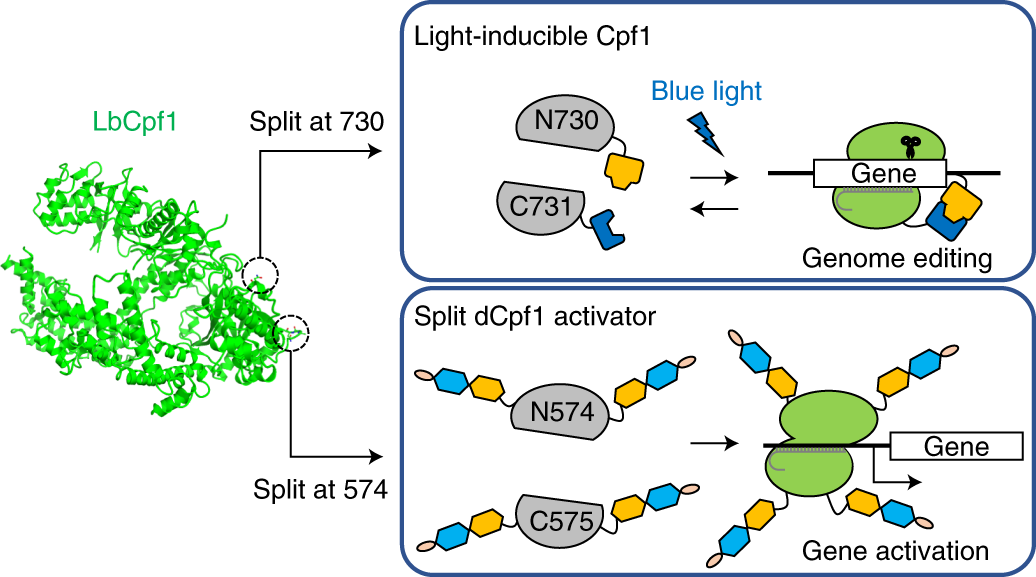 A split CRISPR–Cpf1 platform for inducible genome editing and ge
