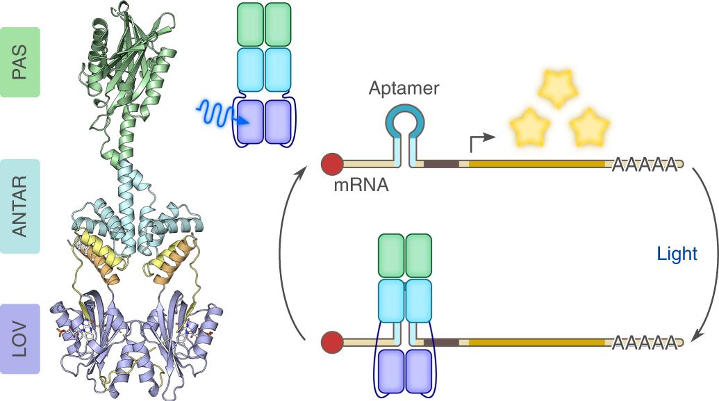 A blue light receptor that mediates RNA binding and translational regu