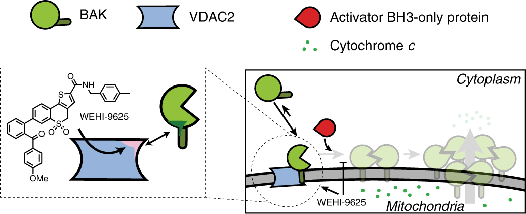 A small molecule interacts with VDAC2 to block mouse BAK-driven apopto