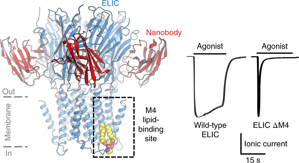 A lipid site shapes the agonist response of a pentameric ligand-gated