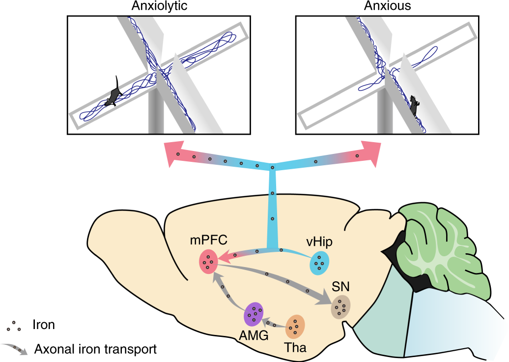 Axonal iron transport in the brain modulates anxiety-related behaviors