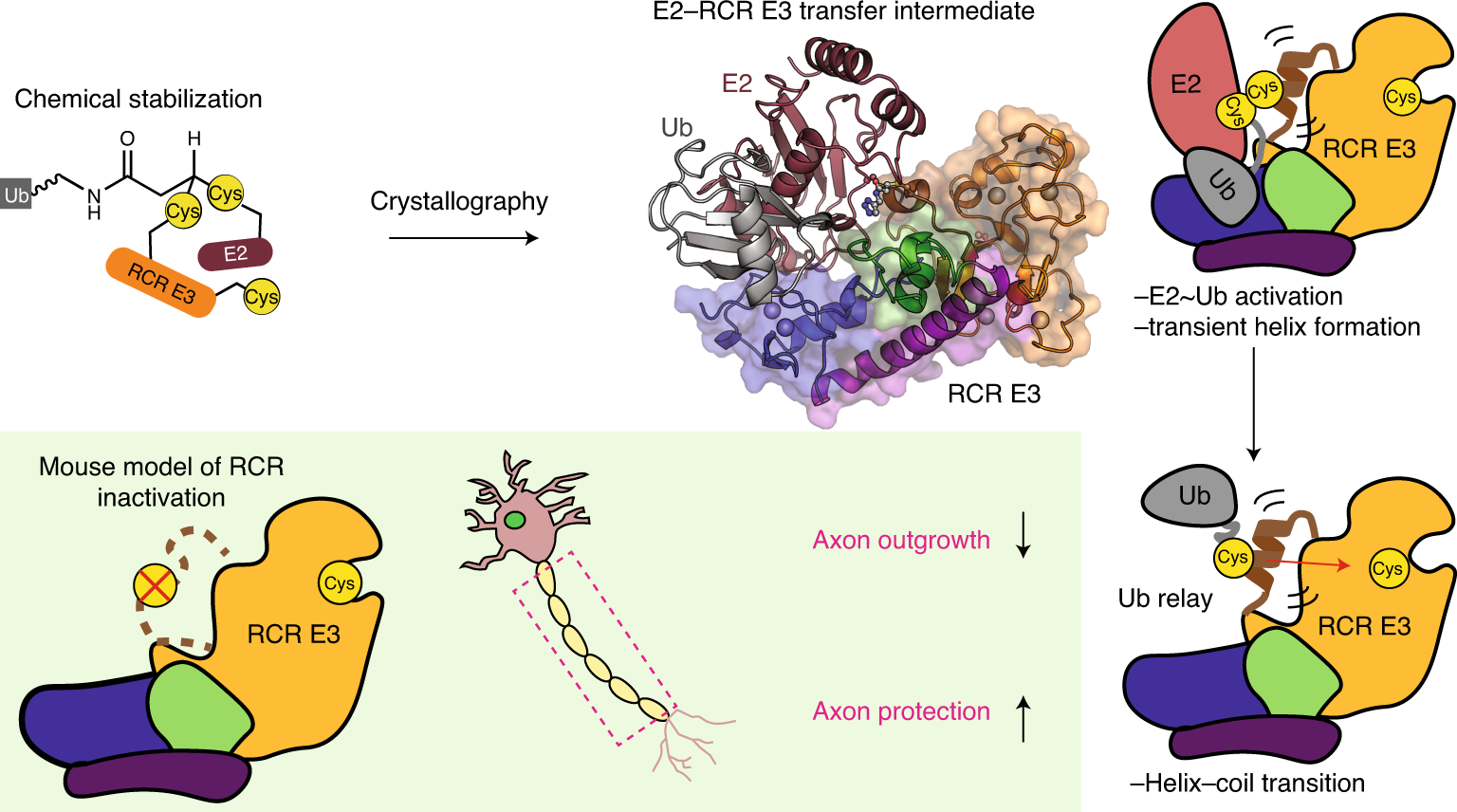 Structural basis for RING-Cys-Relay E3 ligase activity and its role in