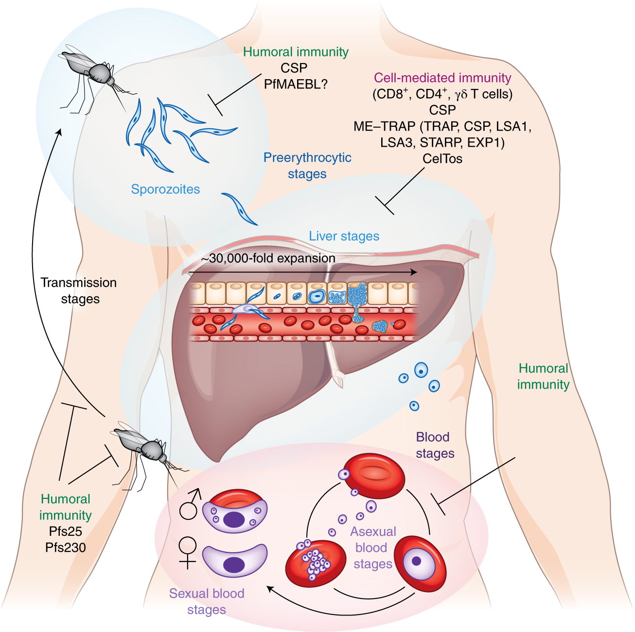 Malaria Prevention From Immunological Concepts To Effective