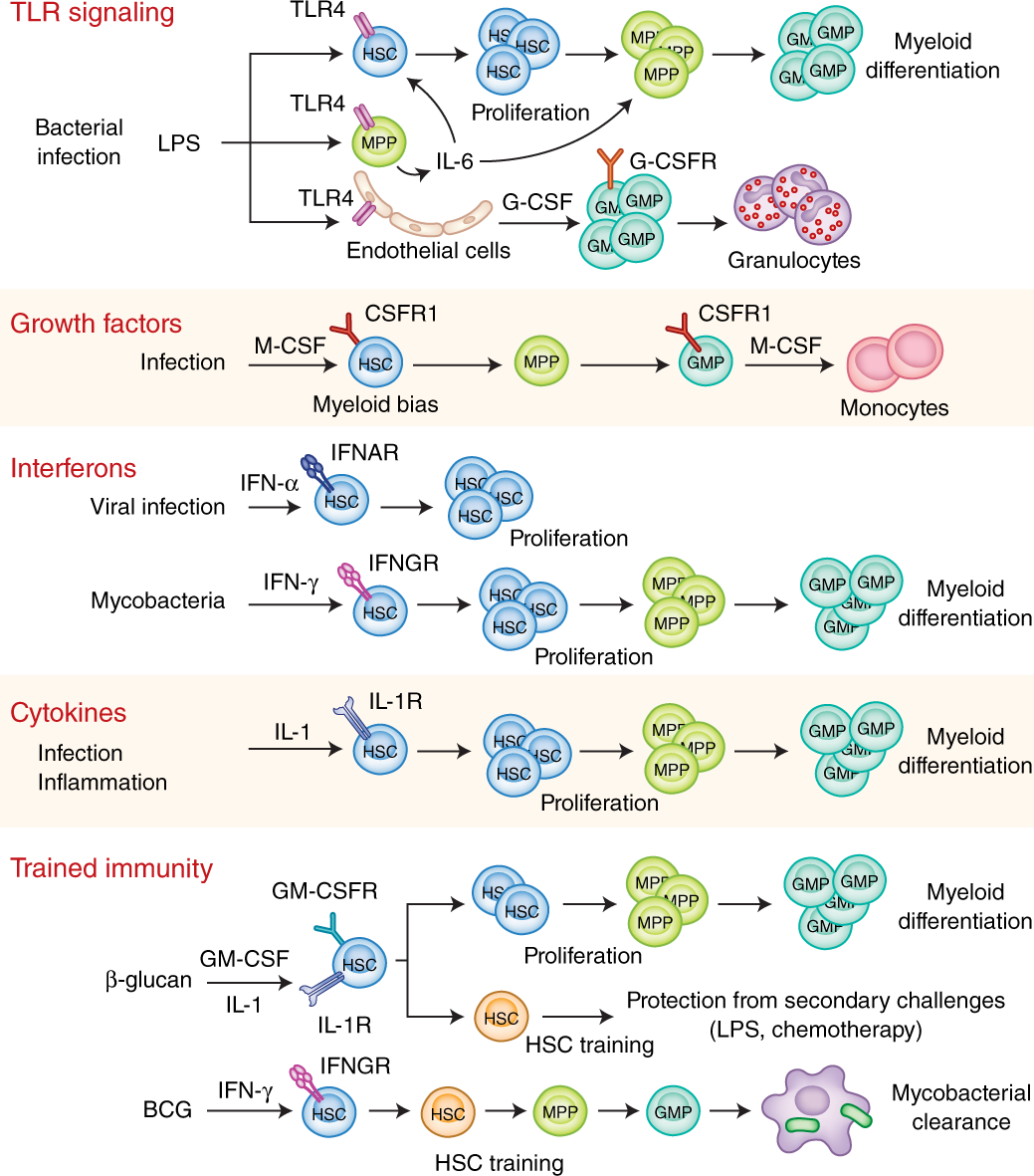Hematopoietic progenitor cells as integrative hubs for adaptation to a