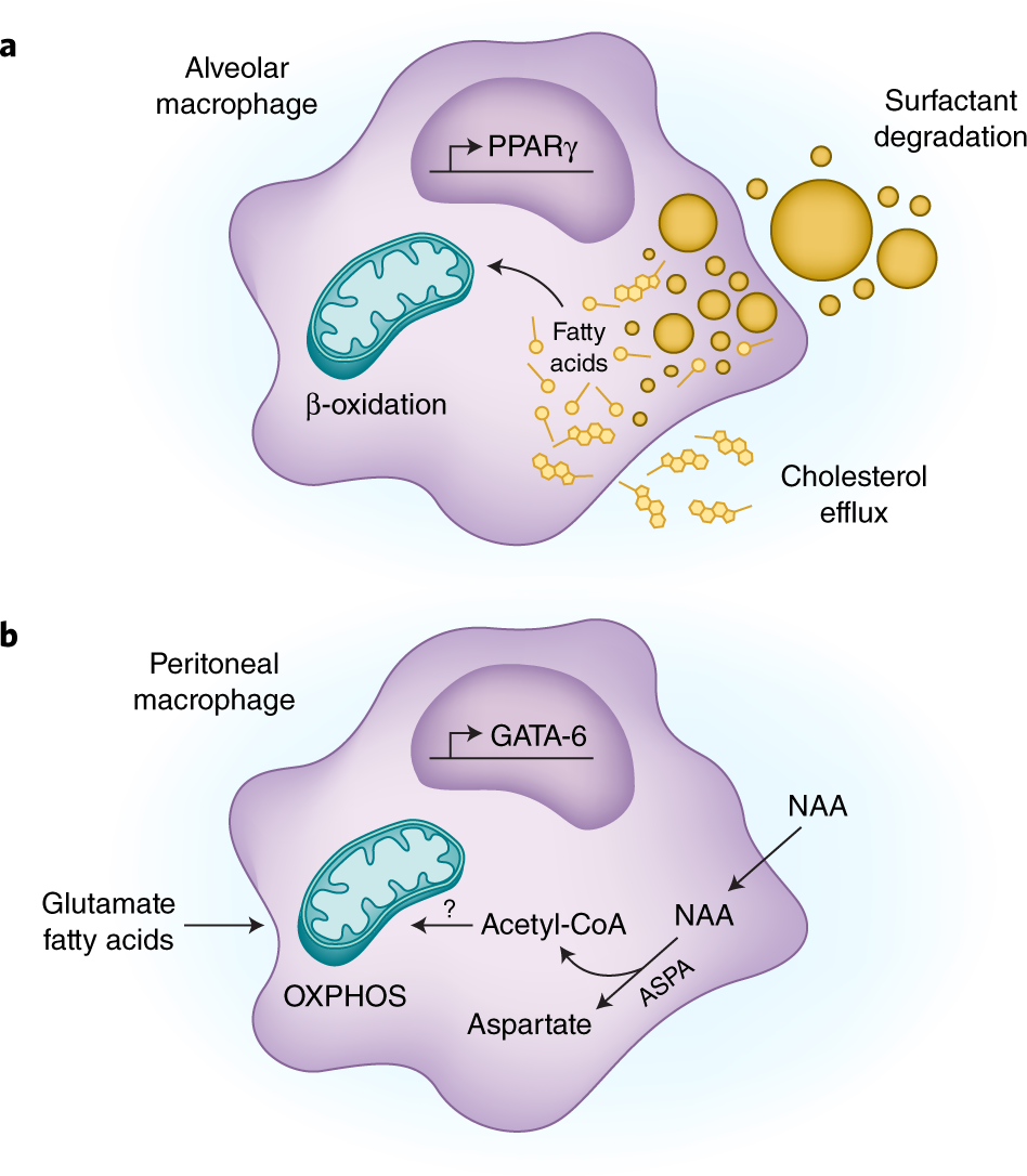 Metabolic adaptations of tissue-resident immune cells