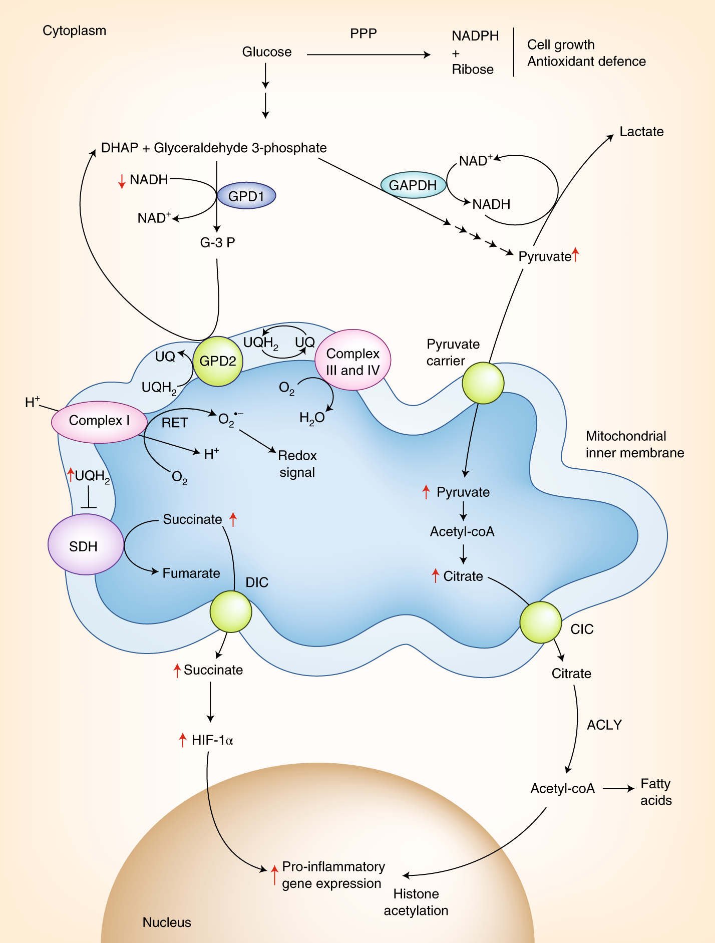 Rerouting metabolism to activate macrophages