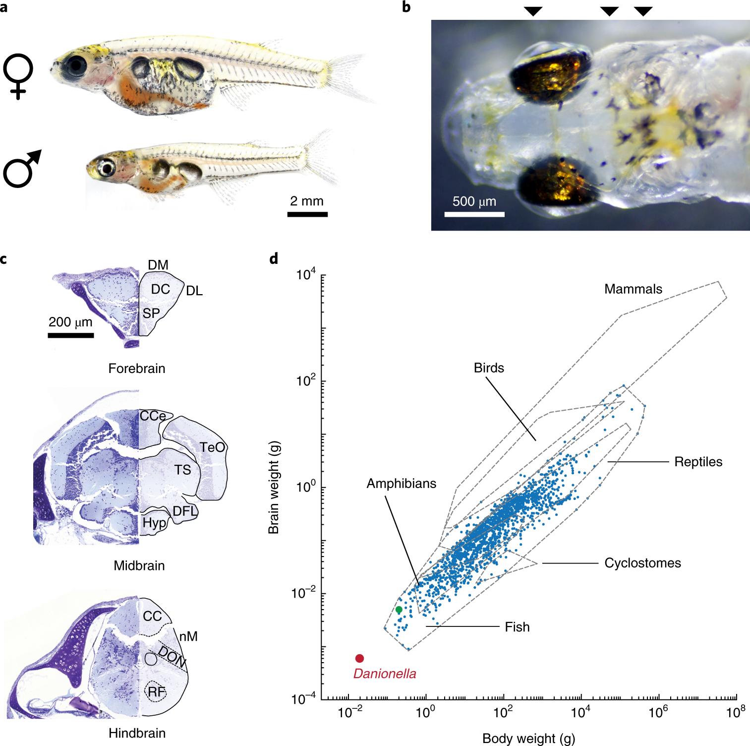 transparent danionella translucida as a genetically tractabletransparent danionella translucida as a genetically tractable vertebrate brain model nature methods