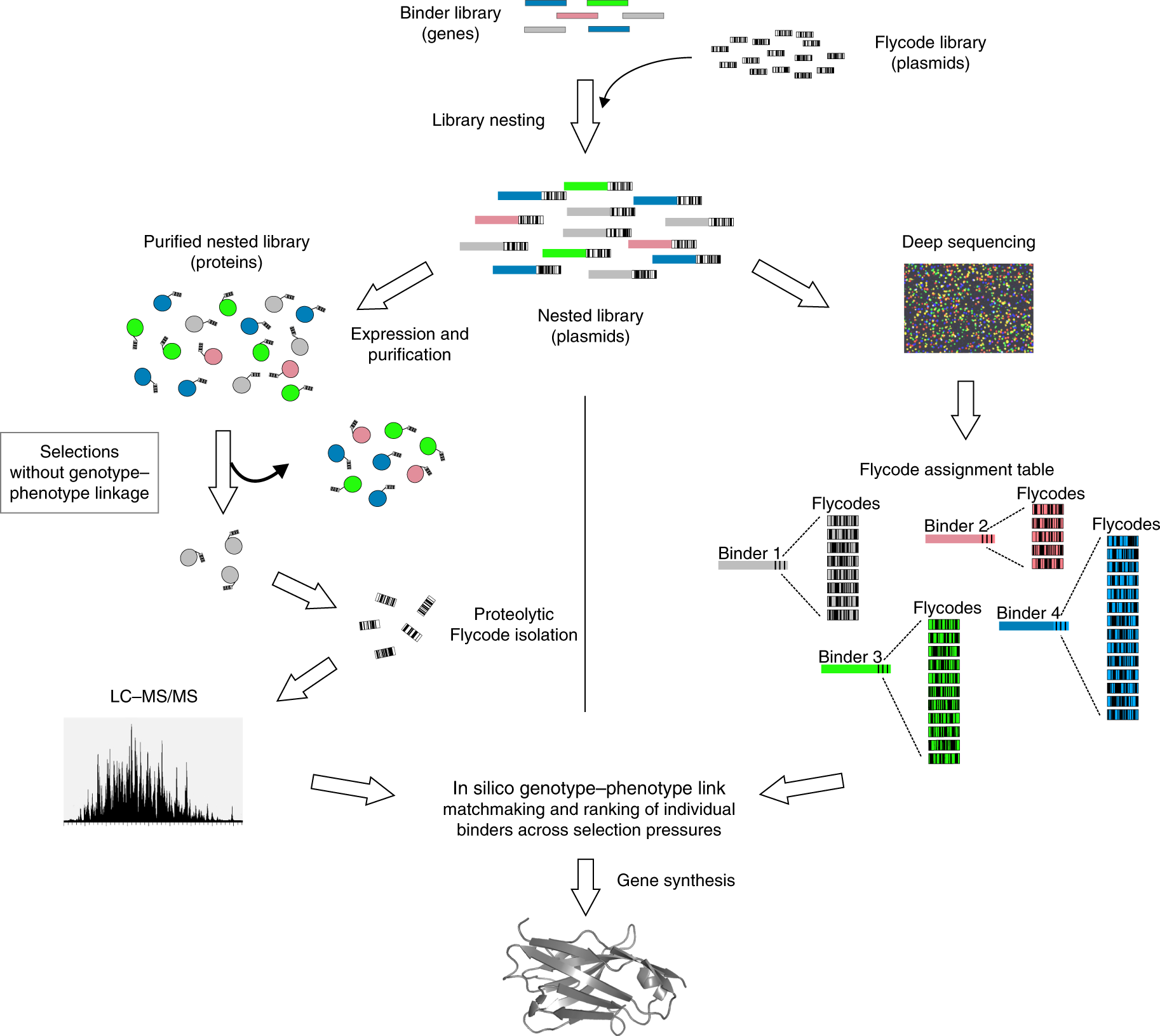 Engineered peptide barcodes for in-depth analyses of binding protein