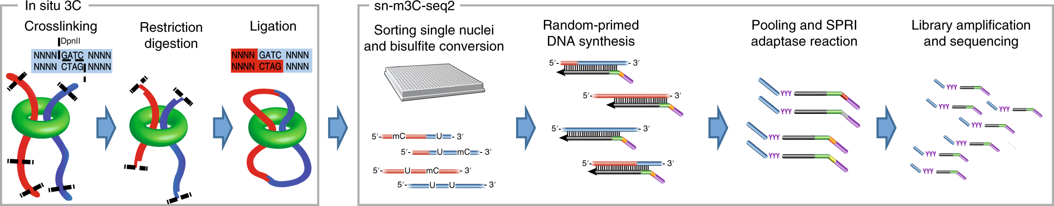 Simultaneous profiling of 3D genome structure and DNA methylation in s
