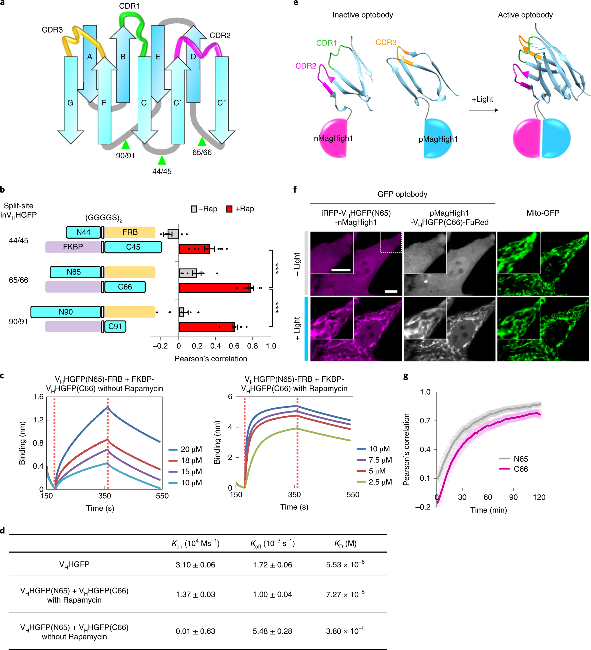 Optogenetic activation of intracellular antibodies for direct modulati