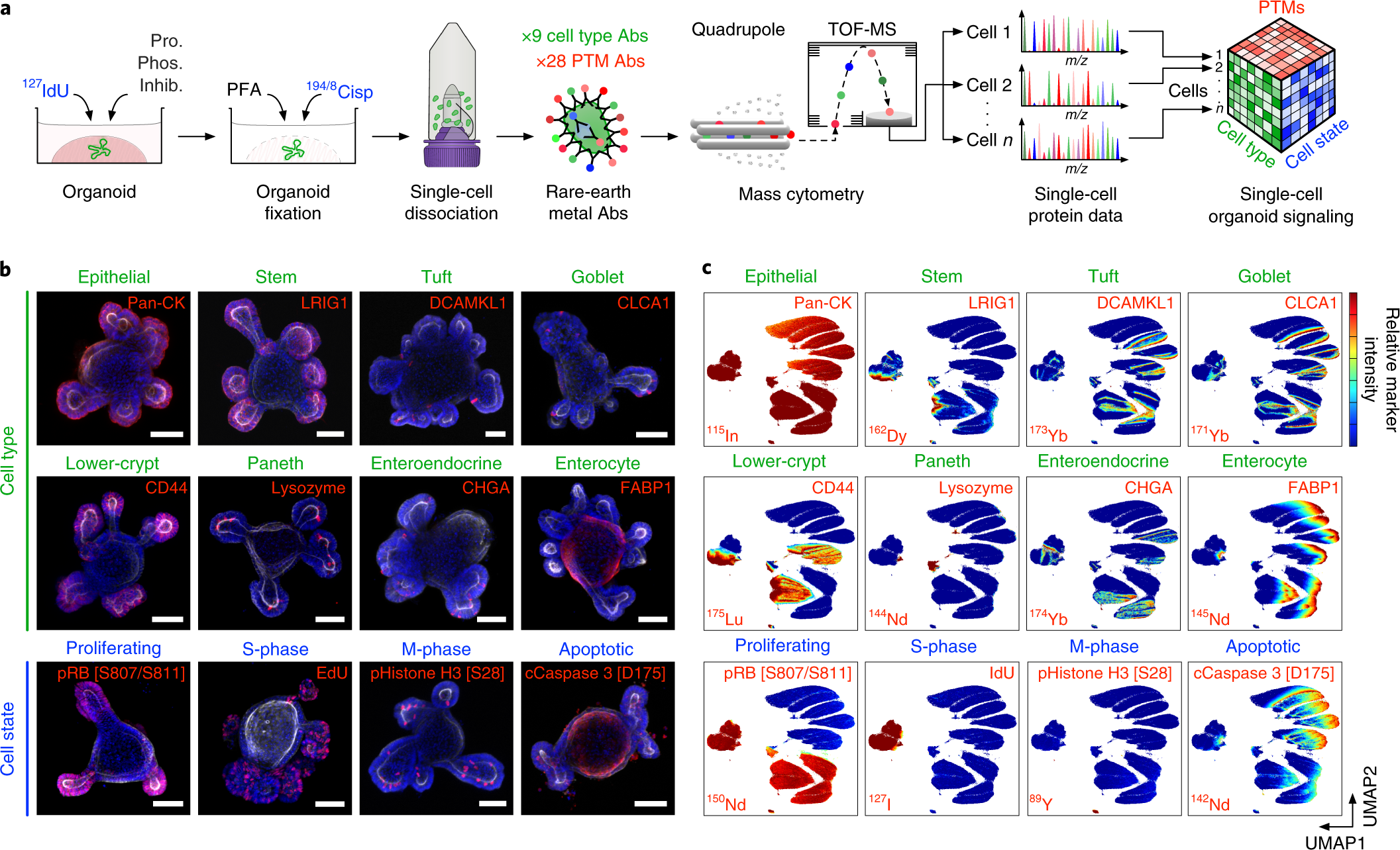Cell-type-specific signaling networks in heterocellular organoids