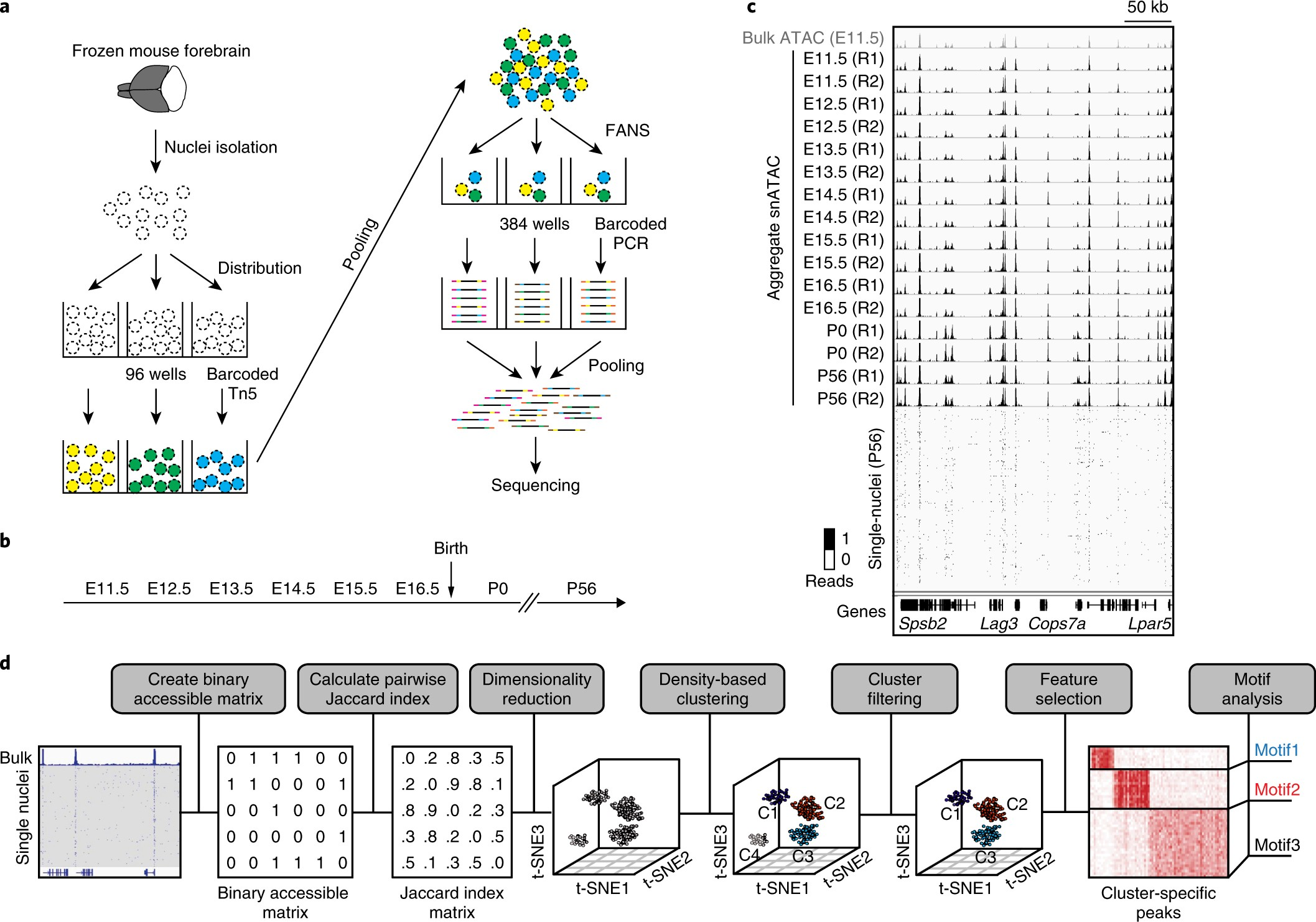 Single-nucleus analysis of accessible chromatin in developing mouse