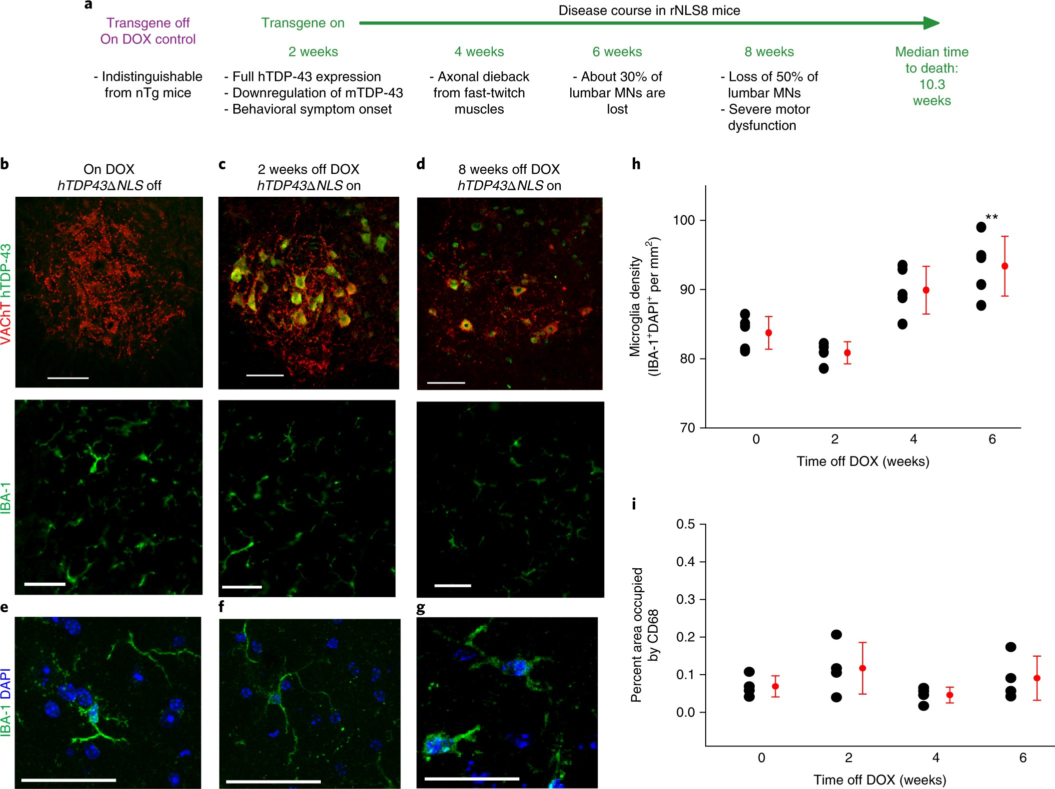 Microglia-mediated recovery from ALS-relevant motor neuron