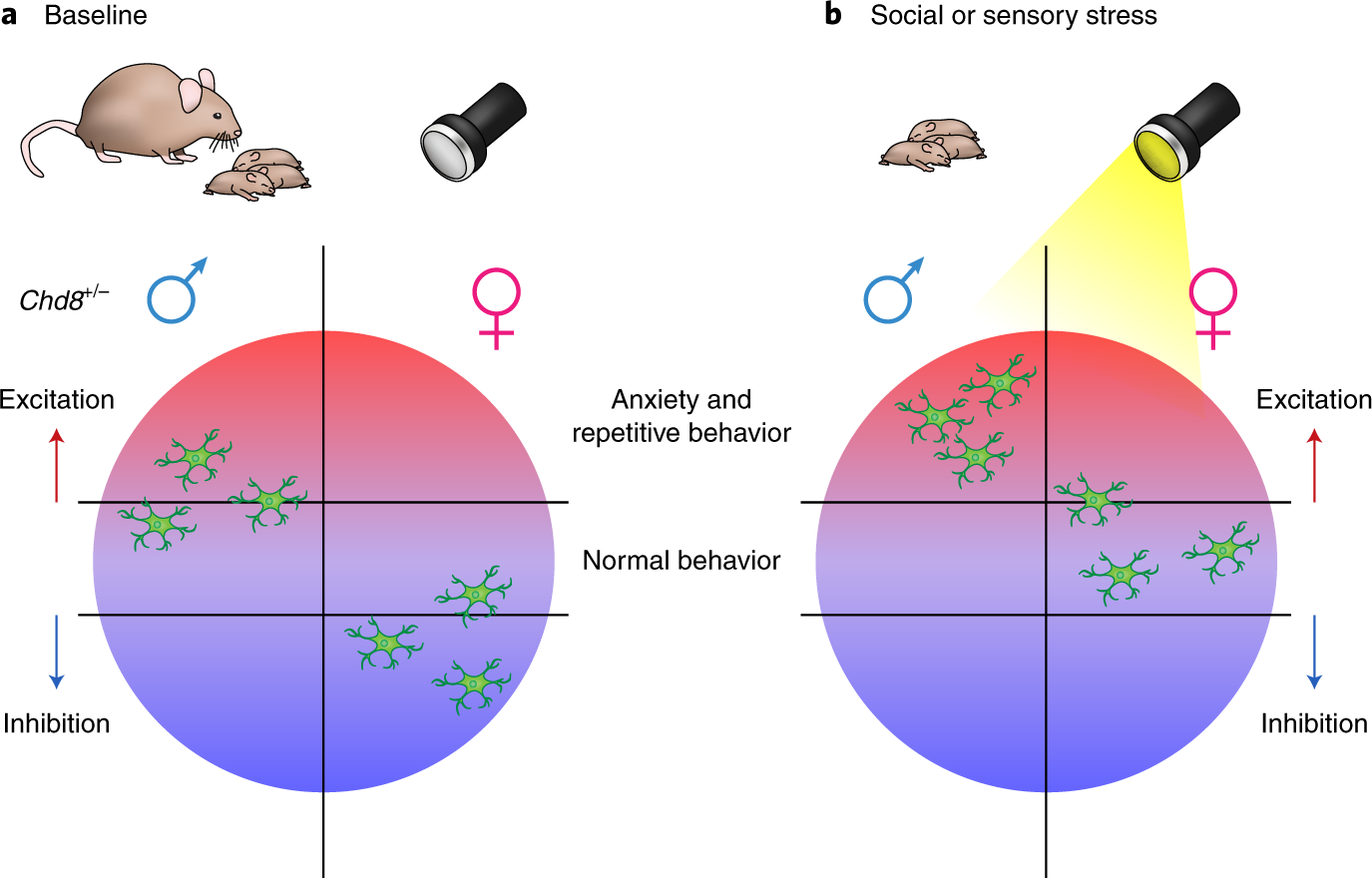 Autism May Reflect Excitation >> Sex Bias In Autism New Insights From Chd8 Mutant Mice Nature