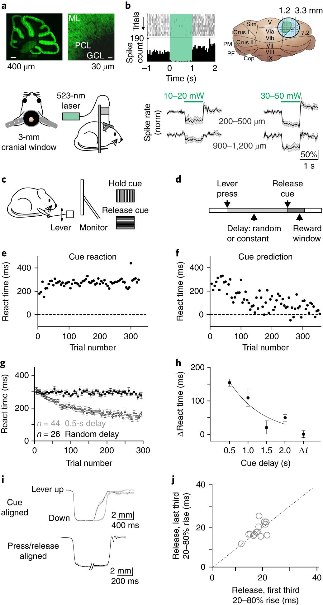 Coordinated Cerebellar Climbing Fiber Activity Signals Learned Figure 2 Basic Structure Of The Neuronal Circuitry In Cerebellum Sensorimotor Predictions Nature Neuroscience