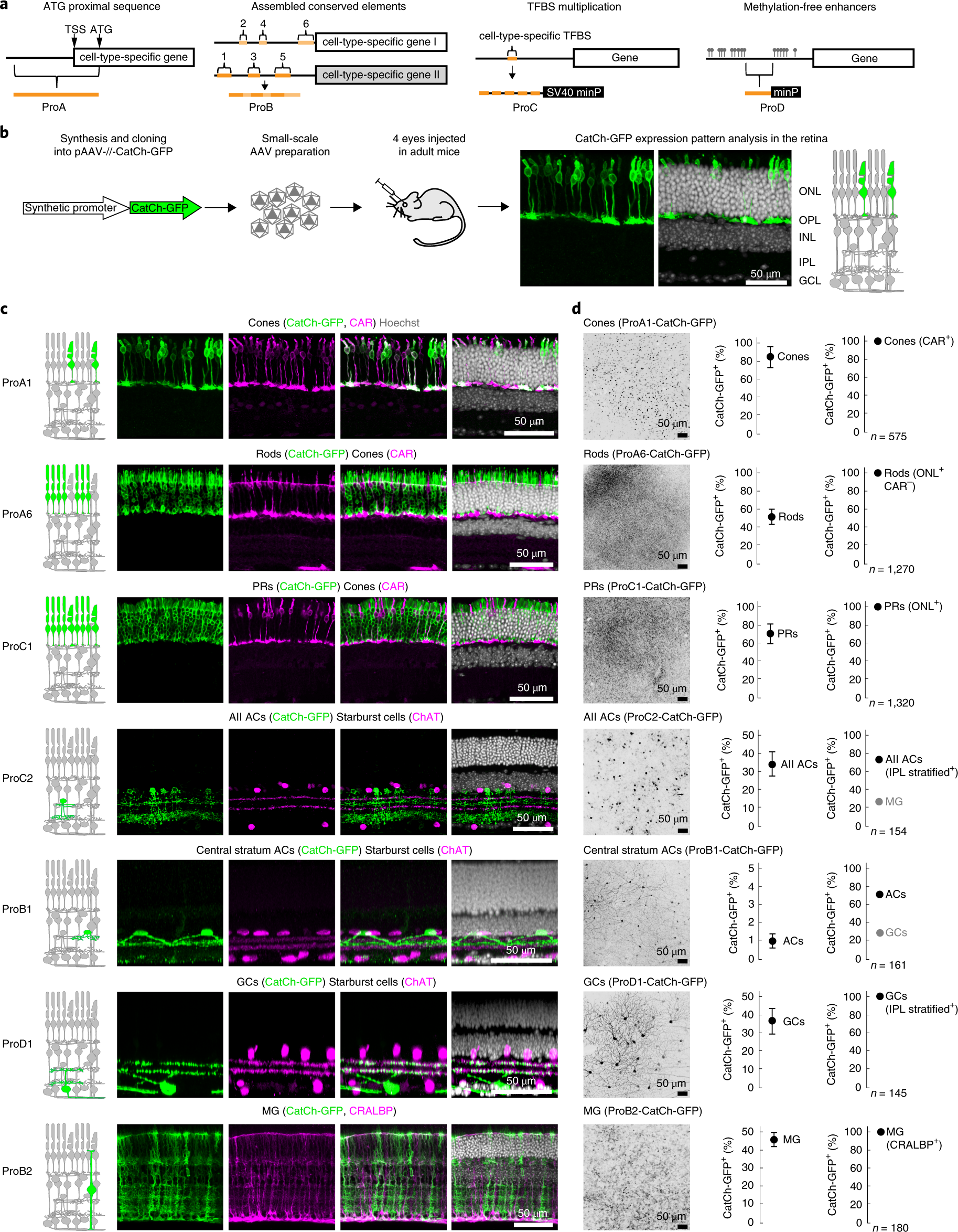 Targeting neuronal and glial cell types with synthetic